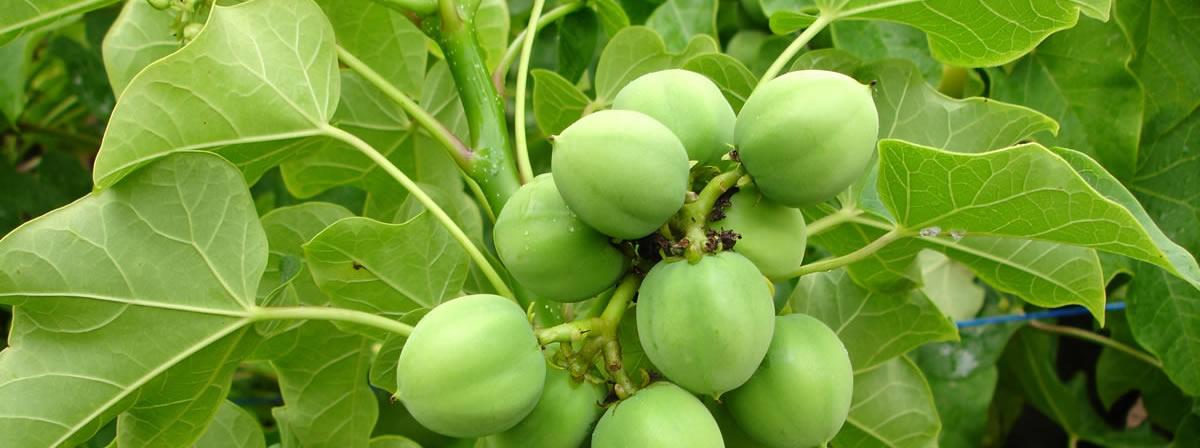 plantation-bio-oils-5